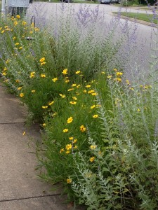 Russian sage and coreopsis  in my curbside garden