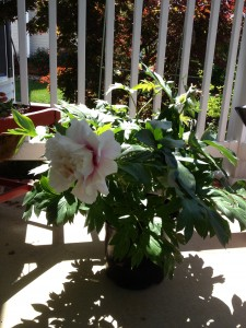New peony, the future of my garden